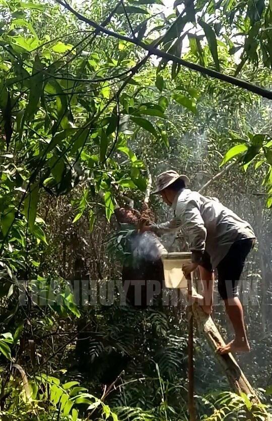 Nghề gác kèo ong đòi hỏi kinh nghiệm, kỹ thuật và cũng chứa đựng không ít rủi ro