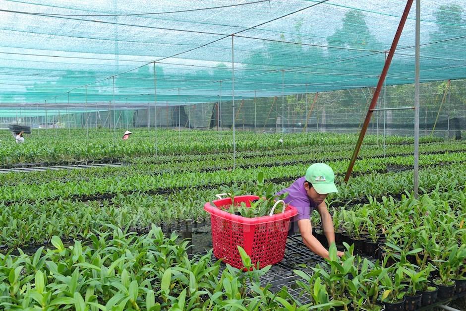 Nông dân đang tất bật chăm sóc vườn lan để kịp cung ứng thị trường Tết